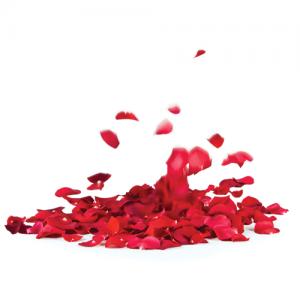 rose petals 500 x 500